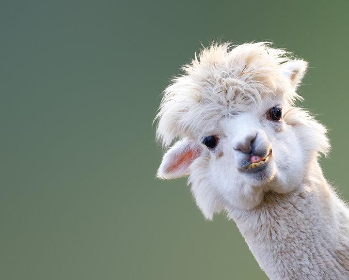 llama queen.jpg