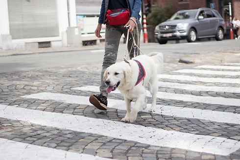 a dog leads a person across the crosswalk