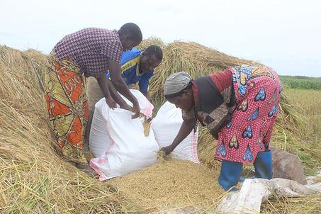 Trois personnes ramassent le grain dans un champ