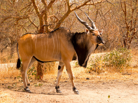The most sought-after large mammals in Africa