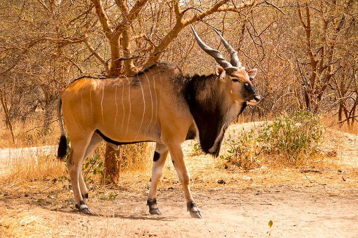 Giant eland in the Bandia Reserve, Seneg