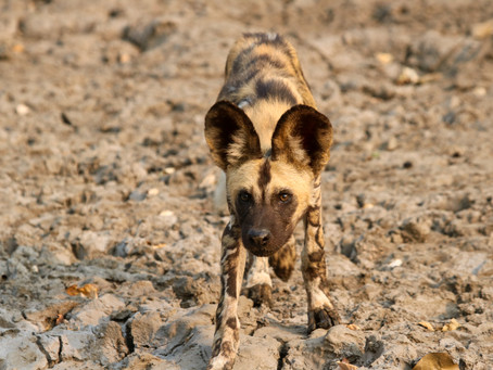 Unexpected Destinations for Wild Dogs