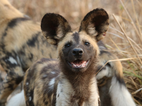 Where to see African Wild Dogs?