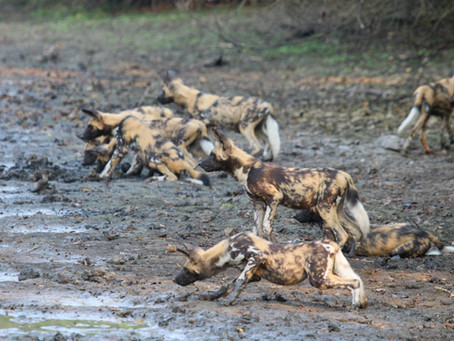 Where can I see wild dogs and big cats?