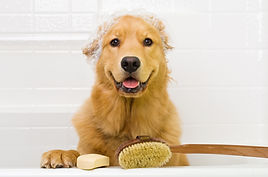 A happy Golden Retriever dog ready to ta