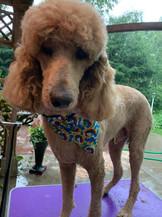 Standard Poodle After