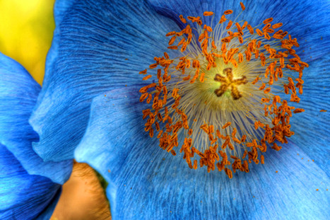 Tibettan Poppy