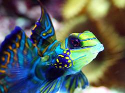 Blue Mandarin fish