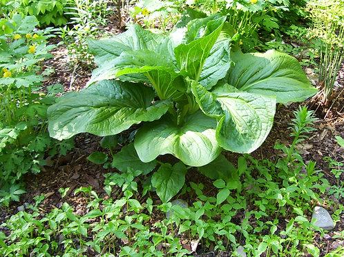 Symplocarpus foetidus - Skunk cabbage