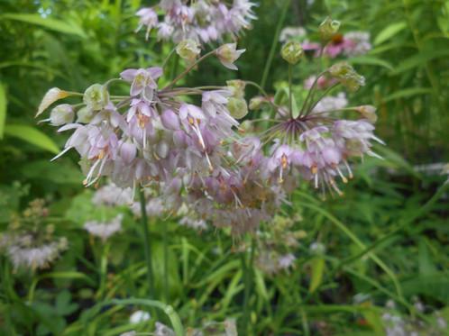 Allium cernuum nodding pink onion nodding pink onion is my daughter amandas favorite flower the globe shaped flower is really a cluster of pink star shaped flowers mightylinksfo