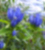 Native Pollinator Plant