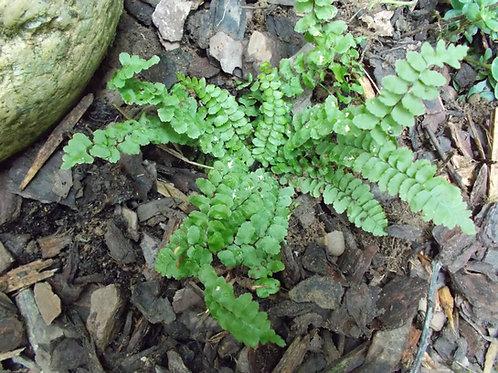 Asplenium platyneuron - Ebony spleenwort