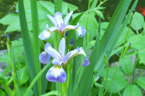 Iris versicolor - Blue flag iris
