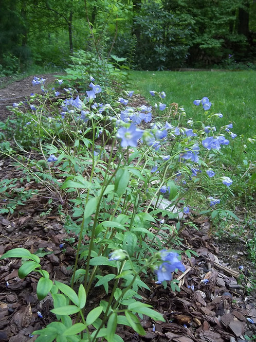 Polemonium reptans - Jacob's Ladder