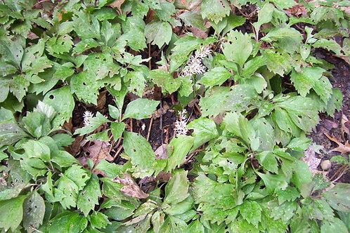 Pachysandra procumbens - Alleghany pachysandra