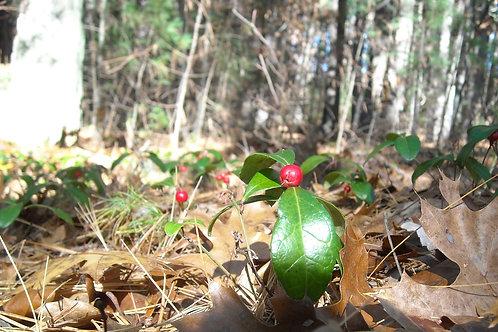 Wintergreen Plant