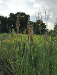 Indian Grass 2 .jpg