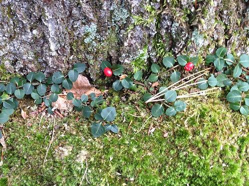 Mitchella repens – Partridge Berry