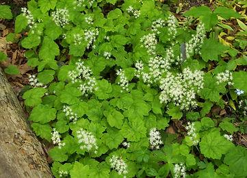 Tiarella%20cordifolia%204.jpg