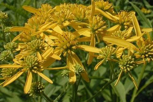 Verbesina alternifolia - Wingstem