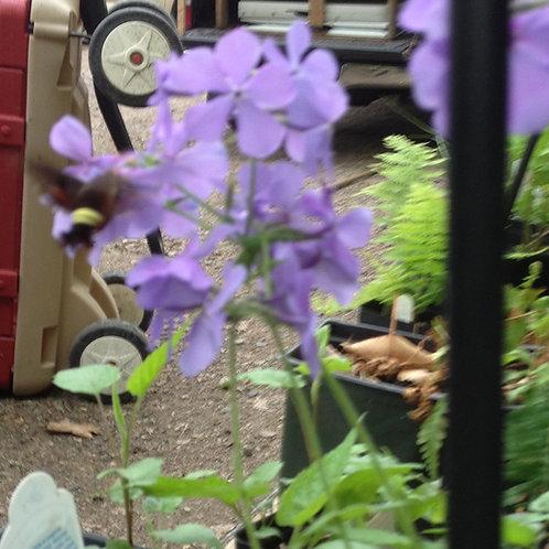 Phlox stolonifera- Creeping Woodland Phlox