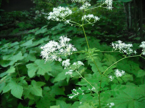 Thalictrum pubescens - Tall meadow rue