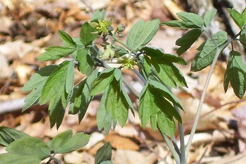 Caulophyllum thalictroides - Blue cohosh