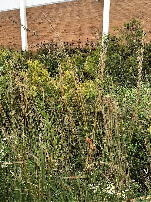 Bouteloua curtipendula - Sideoats Grama Grass