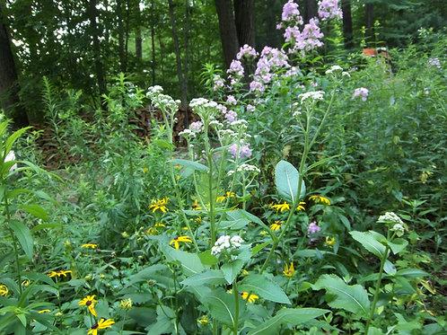 Parthenium integrifolium - Wild Quinine