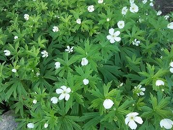 cananda anemone.jpg