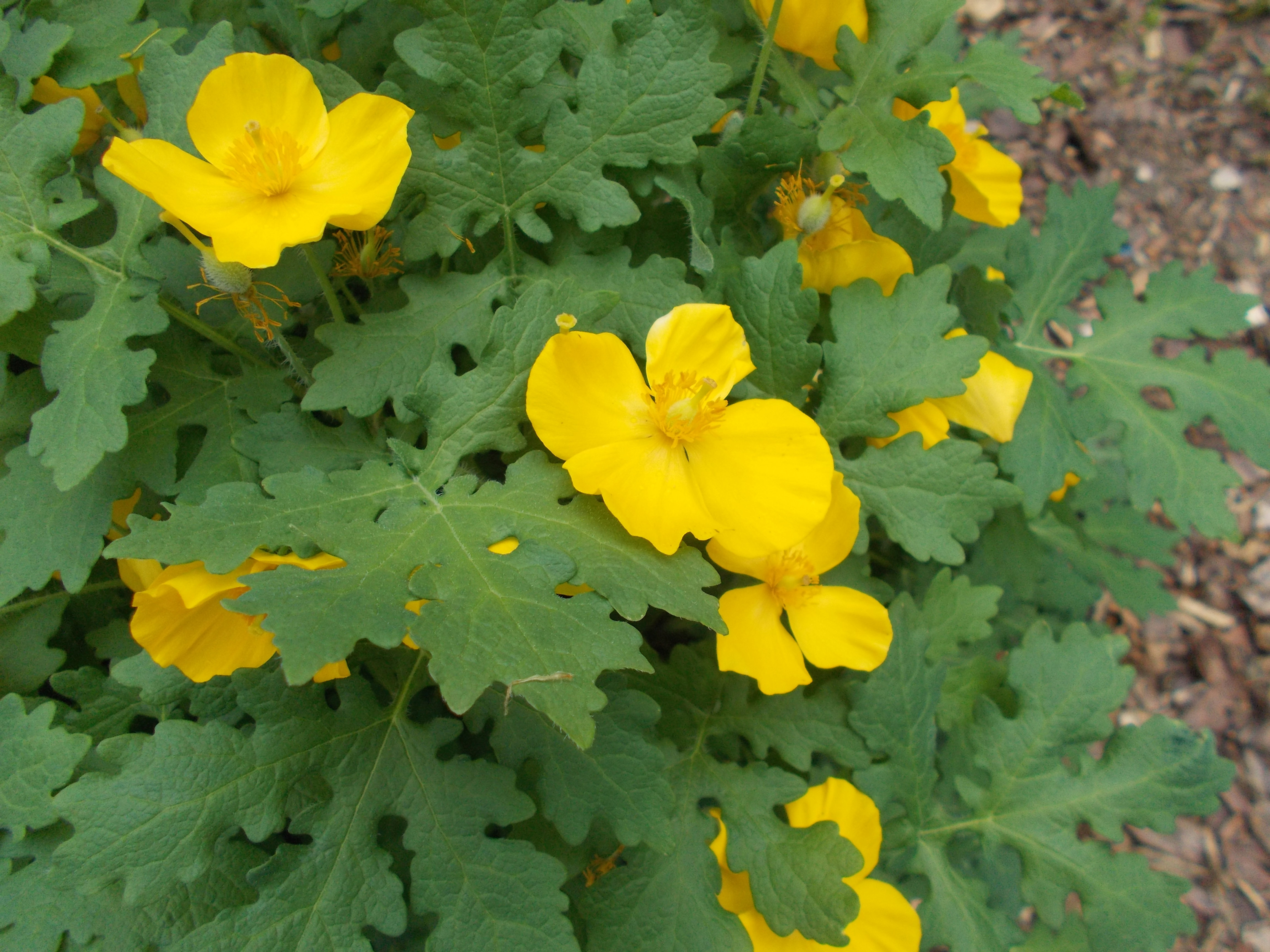 Amandas garden stylophorum diphyllum yellow wood poppy yellow wood poppy is such a cheery sight in the garden after a long winter the bright yellow flowers add a bold color statement to the garden mightylinksfo Choice Image