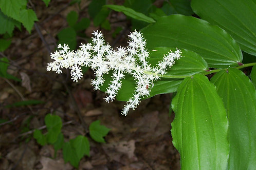 Maianthemum racemosa - False solomon's seal