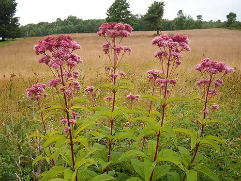 Eutrochium maculatum - Joe-pye weed