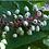 Thumbnail: Actaea pachypoda - White baneberry