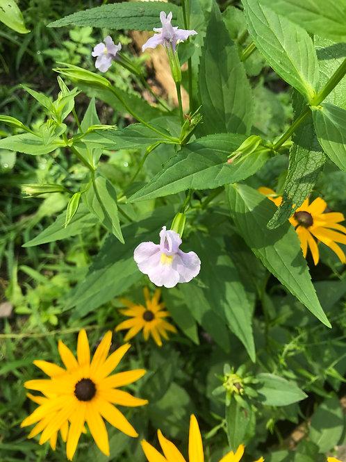 Mimulus ringens - Monkey flower