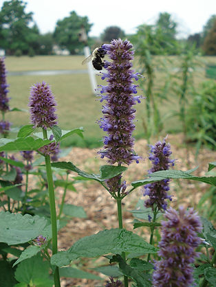 Anise Hyssop and Bee
