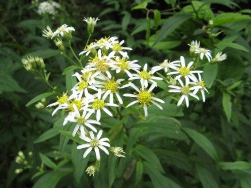 Doellingeria umbellata - Flat-topped white Aster