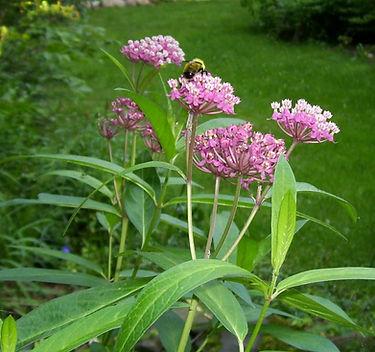 Swamp Milkweed and bumble bee
