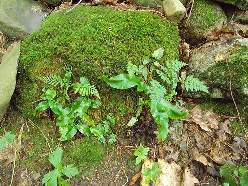 Amandas Garden Asplenium scolopendrium Harts tongue fern