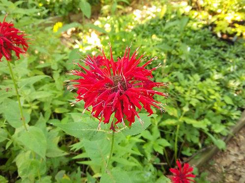 Monarda didyma - Scarlet beebalm