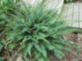 Polystitchum%20acrostichoides.jpg