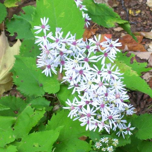 Symphyotrichum cordifolium - Blue wood aster