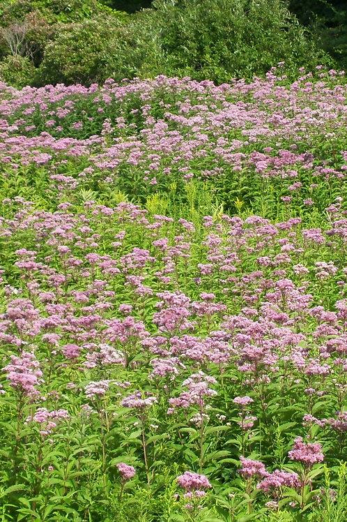 Eutrochium purpureum - Joe-pye weed