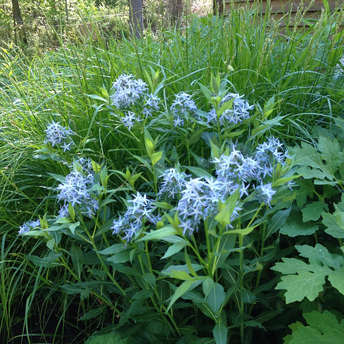 Amsonia tabernaemontana - Willow blue amsonia