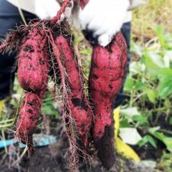 農業体験4.jpg