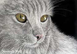 Persian Cat in scratchboard