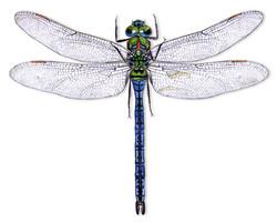 Emperor-dragonfly.jpg