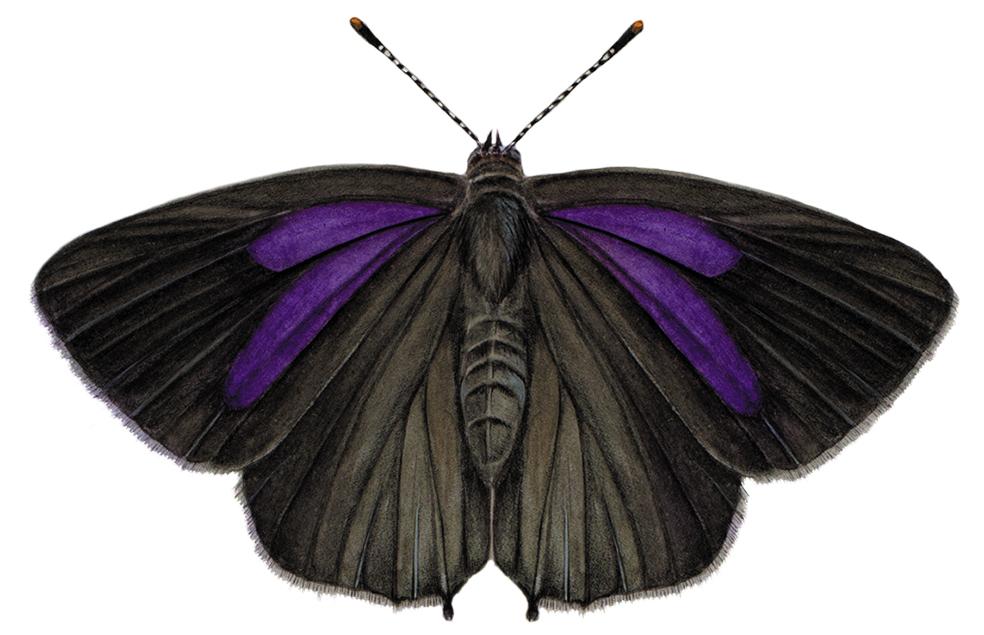 purple-hairstreak.jpg