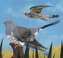 cuckoo-2.jpg