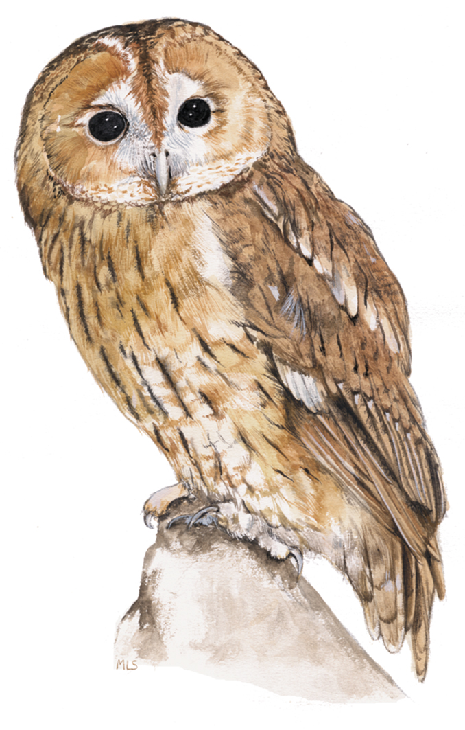tawny-owl.jpg
